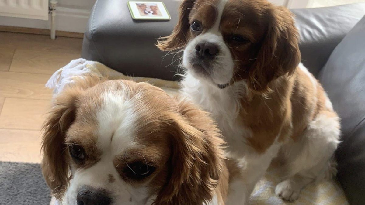 Barney and Buster Cavalier King Charles Spaniels available for adoption