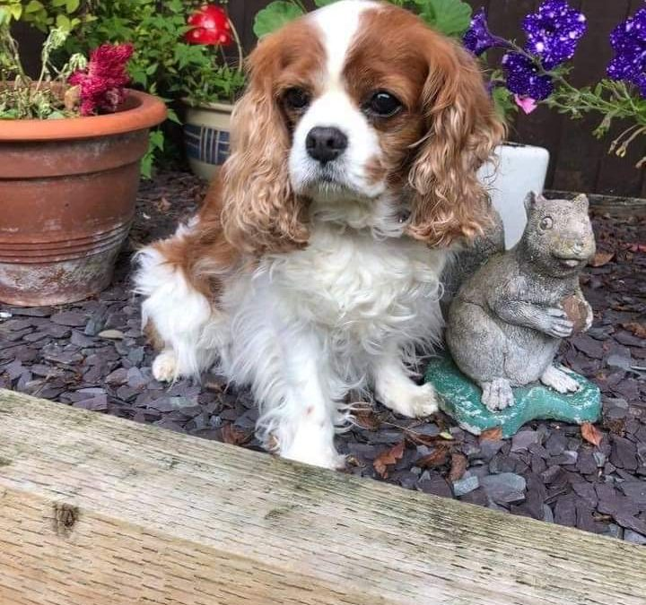 Maggie May 12 year old Cavalier King Charles Spaniel