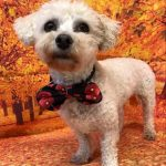 Amy Bichon Frise available for adoption