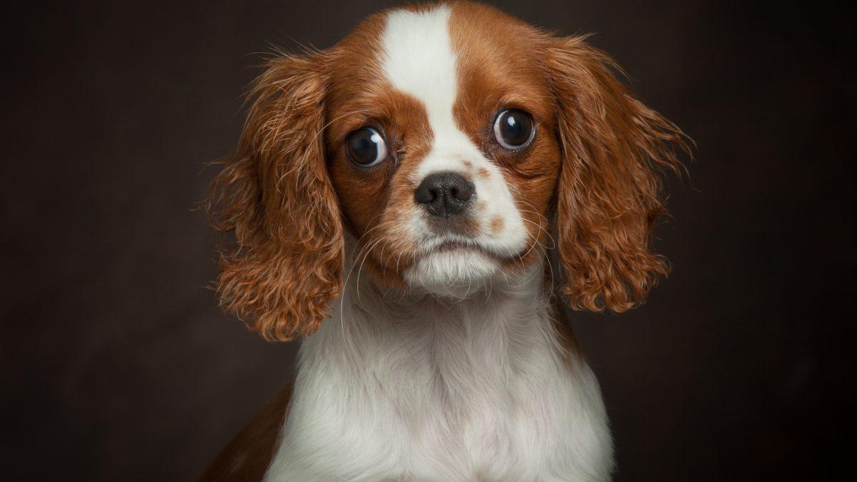Blenheim Cavalier Puppy Milo