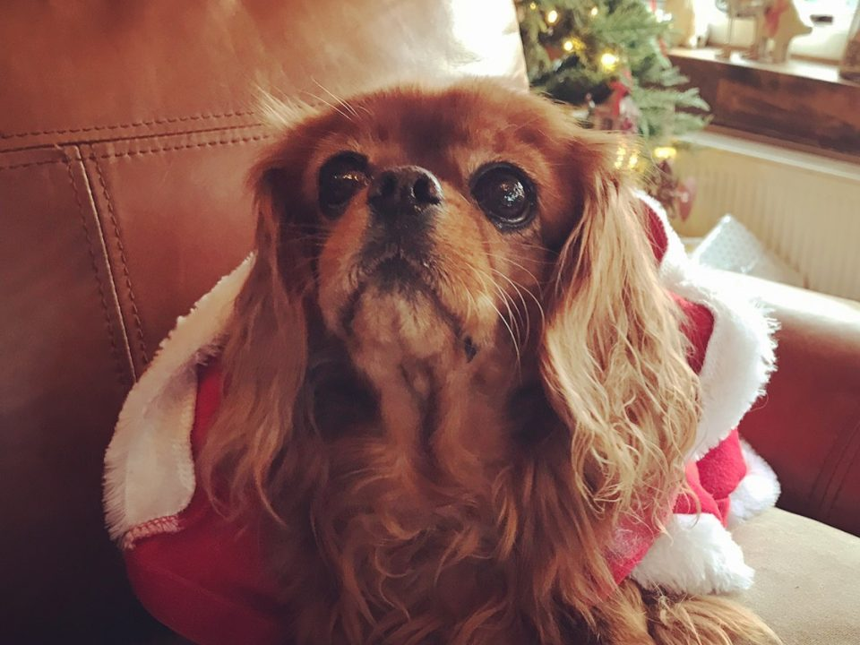 Cavalier King Charles wearing Christmas santa outfit