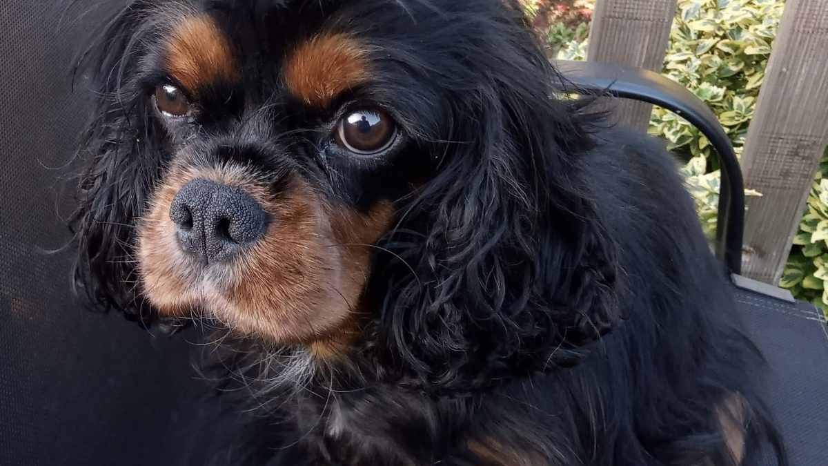 Black and tan Cavalier Grace