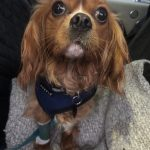 Cody a 3 year old Cavalier with severe hip dysplasia