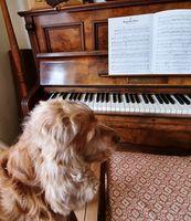 Rupert rescue Cocker Spaniel at the pianon