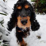 Eira the snow Spaniel