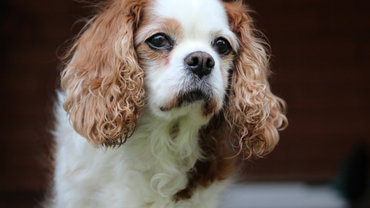 Curious looking Cavalier King Charles Spaniel