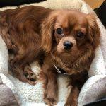 Leo Ruby Cavalier puppy