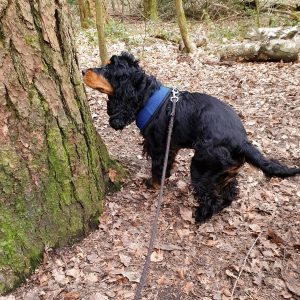 Eira sniffing a tree in the woods