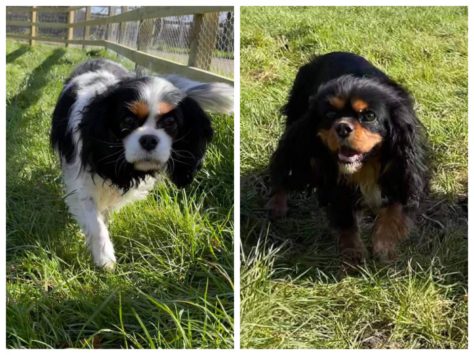 Gracie and Lily Cavaliers outdoorson grass