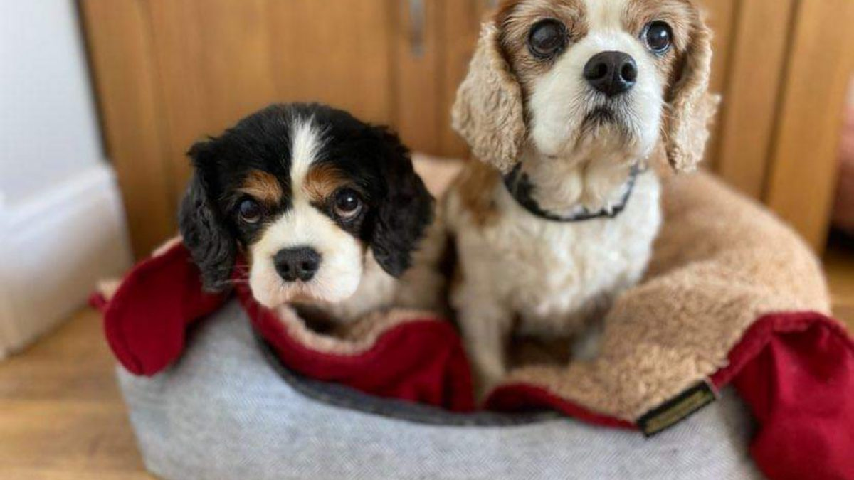 Gracie and Louis Cavaliers in their bed