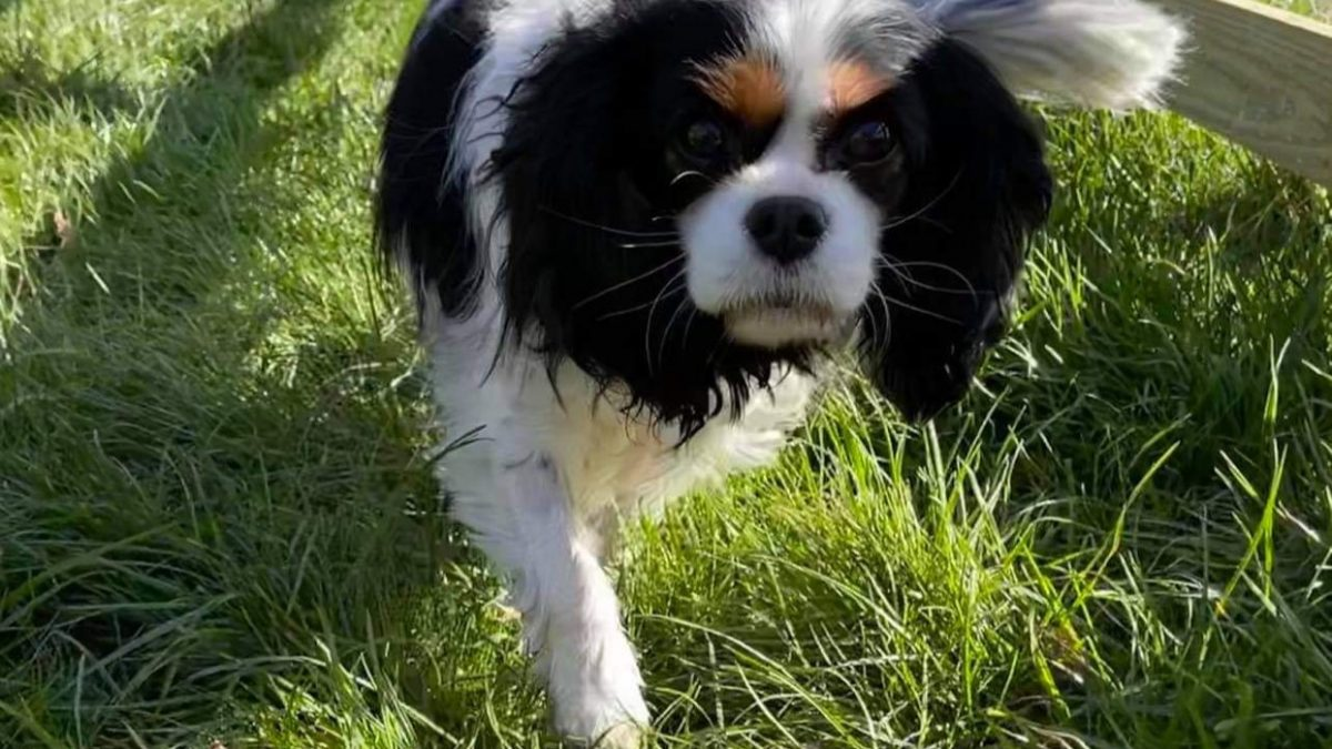 Lily Blossom Tricolour Cavalier walking on grass