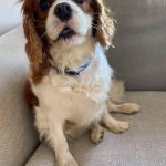 Charlie Cavalier available for adoption