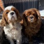 Milo and Luca Cavalier King Charles sitting on garden seat