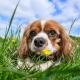 Blenheim Cavalier with dandelions