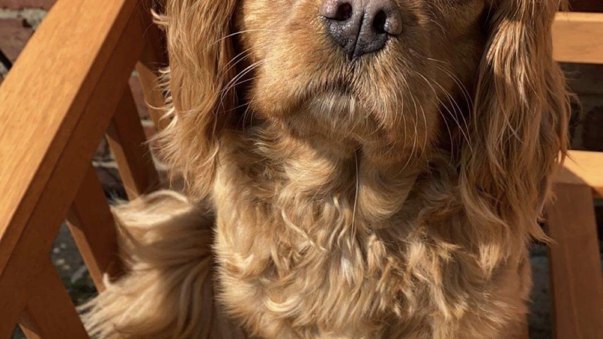 Ruby Cavalier King Charles Spaniel Maisie
