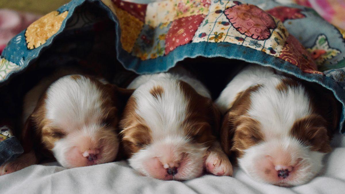 Blenheim Cavalier King Charles puppies