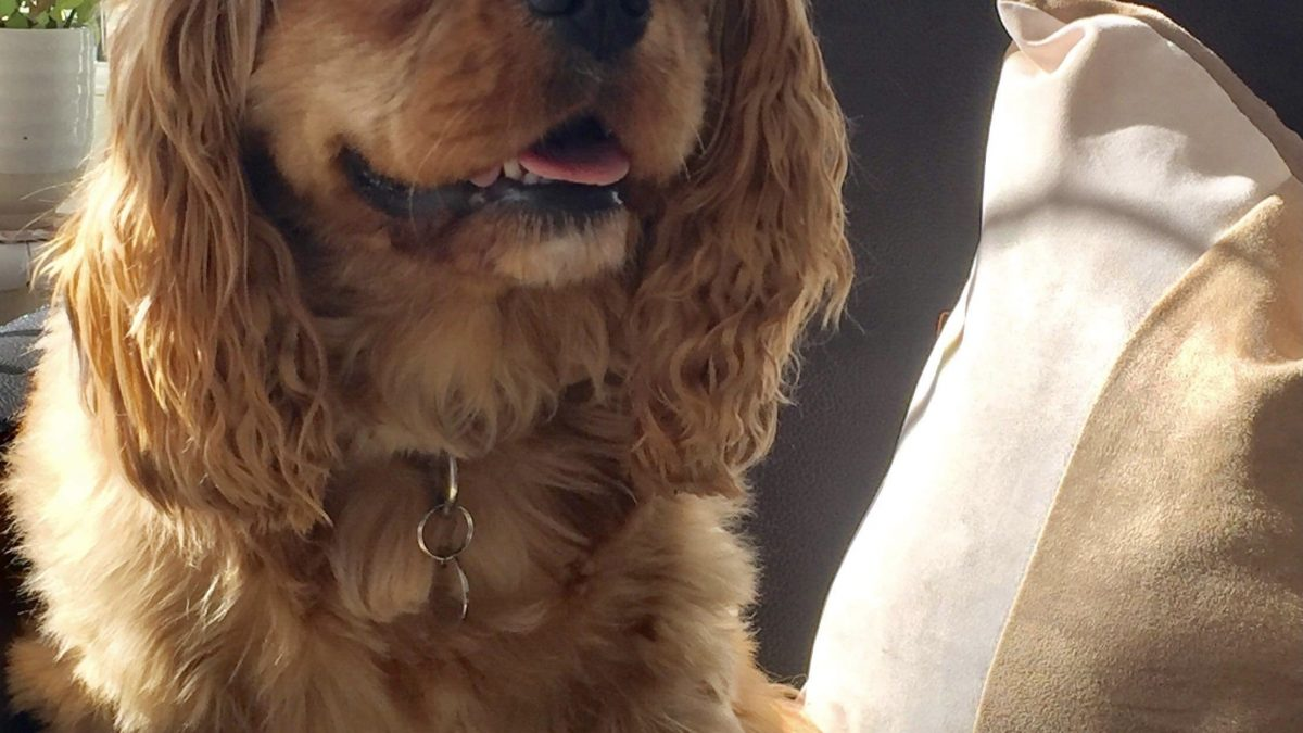 Jessie ruby Cavalier King Charles Spaniel available for adoption