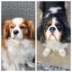 Daisy and Lady Cavaliers