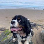 Lilya Tricolour Cavalier at the beach