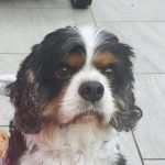 Mr Darcy Tricolour Cavalier King charles