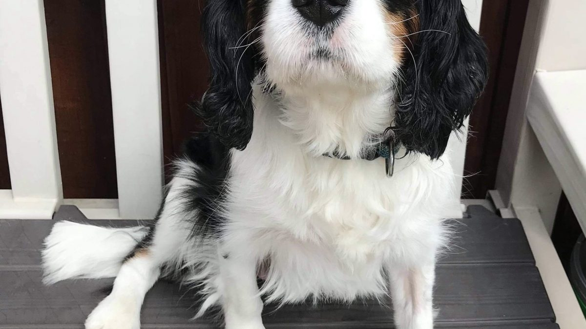 Max Tricolour Cavalier sitting on bench