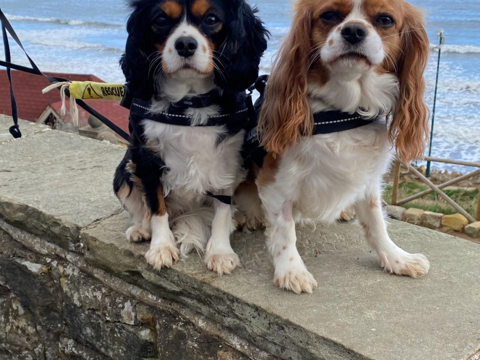 Cagney and Casey Cavalier King Charles st the beach